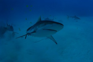 shark encounter at Shark Island Truk Lagoon